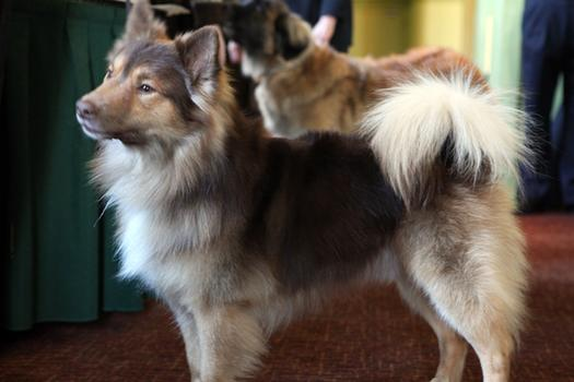 Icelandic Sheepdog Westminster We Are Family: New Bre...