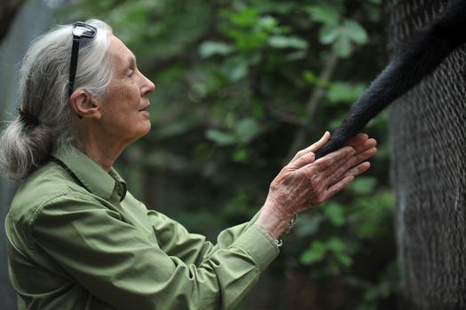 Dr. Jane Goodall on Her Lifelong Work and New Film 'Monkey Kingdom ...