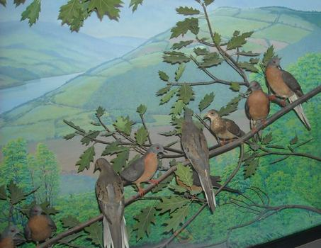 Passenger pigeons ondisplay at the Rochester Museum and Science Center, Rochester, NY.
