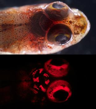 A triplefin blennie (Enneapterygius sp.) under white light (above) and blue light (below).