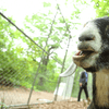 One of the eight goats in Prospect Park that will be used to eat invasive species in the northeast corner of the park.