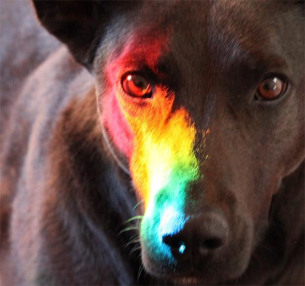 Dog That Can See A Rainbow