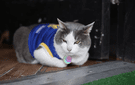 Wolverine the bodega cat roots for the Golden State Warriors in Park Slope, Brooklyn.