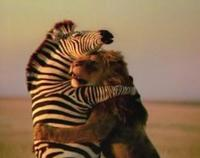 Lion and Zebra Love