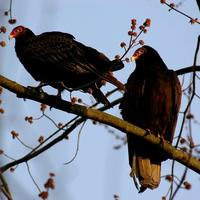 Turkey Vultures!