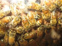 bees in the hive
