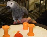 African grey parrot named Alex