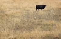A cow feeds in a drought-damaged pasture as temperatures climb near 100 degrees on July 17, 2012 near Princeton, Indiana.
