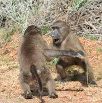 fighting baboons