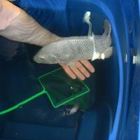 Last chance foods growing fish in a barrel wnyc for Raising tilapia in a pool