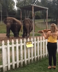 Elephants dance to Eleanor Barsch's Bach Partita