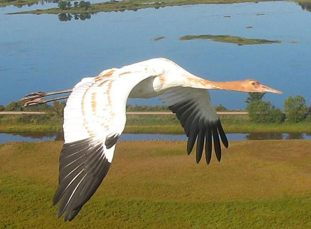 Young whooping crane flying, Necedah National Wildlife Refuge.