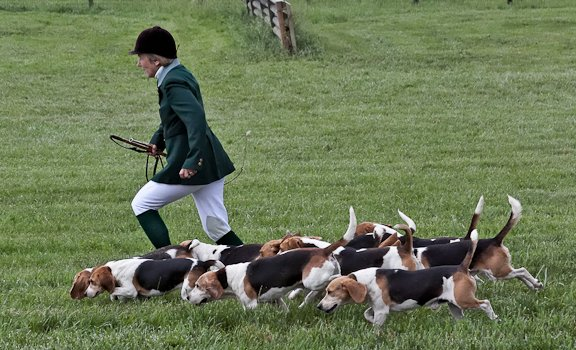 Beagle hunting fox - photo#11