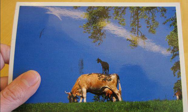 Photo of a postcard sent to Radiolab, of a goat standing on a cow, from a listener in Switzerland