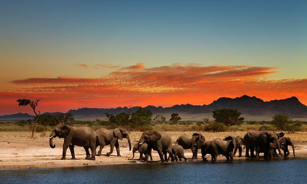 Elephants in African Savana at sunset