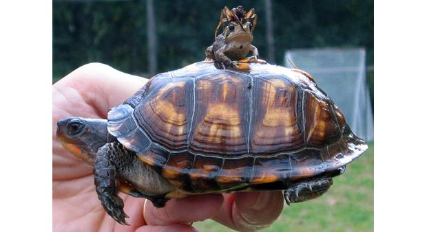 A spider on a frog on a tortoise