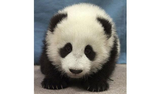 16-week-old giant panda cub, Hua Mei, at the San Diego Zoo