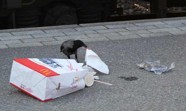 Crow enjoying McDonalds Happy Meal