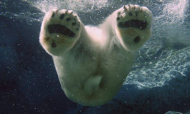polar bear pool paws end