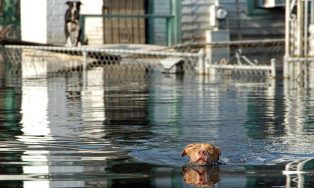 An iconic moment from Katrina: this image of a pit bull swimming for his life towards Best Friends�