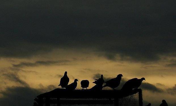 Pigeons roosting