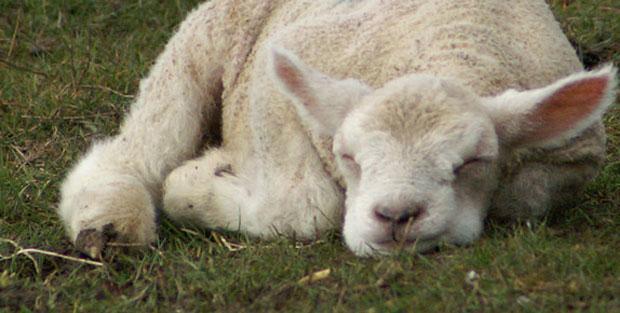 Sleeping lamb