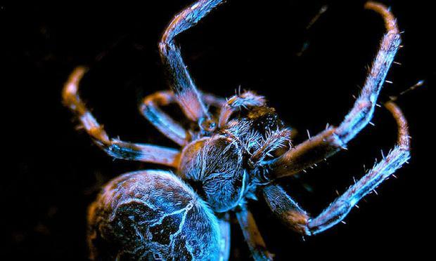 Hanse Spider (Araneus diadematus)