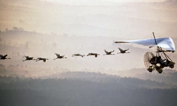 Whooping cranes learning their fall migration route from an ultralight aircraft piloted by a human wearing a crane suit.