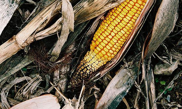 Corncob in a cornfield