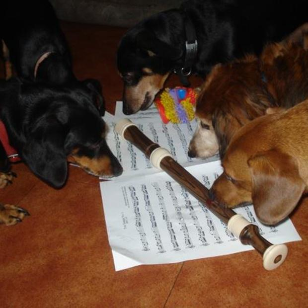 Dachshunds Helga, Willy, Hans, Heinrich and Sophie contemplate eating Bach's Chamber Music or chewing the Blockflute.