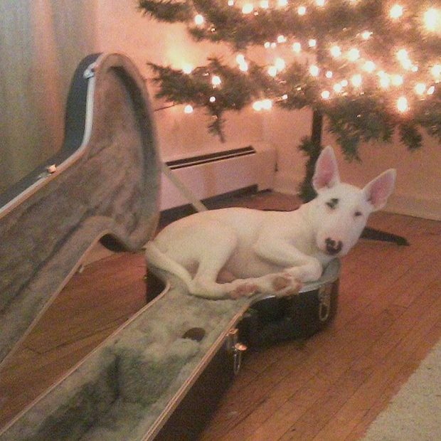 Winnie the Winston English Bull Terrier lying in my banjo case listening to the radio.