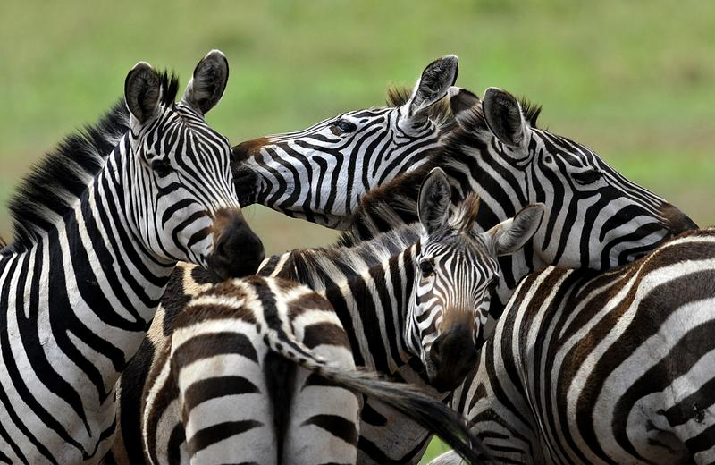 Zebras frolic in the Serengeti national reserve on October 25, 2010.