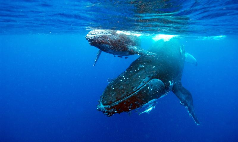 A humpback whale and calf
