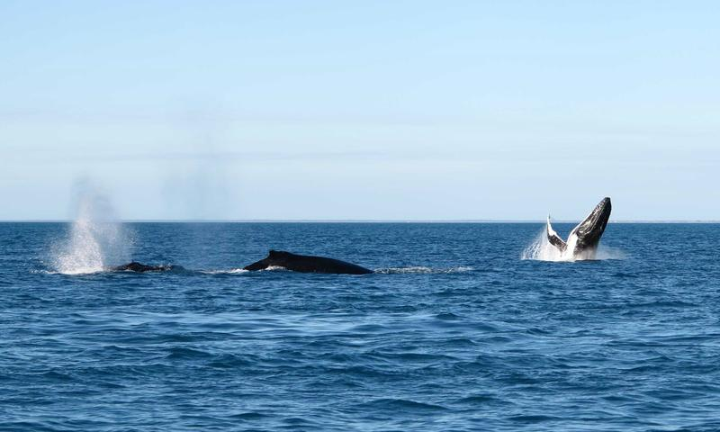 Whales off the coast of Gantheaume Point, Australia
