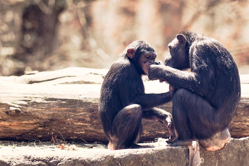 The evolutionary roots of gratitude run deeper than with just homosapiens. Primatologists note that the gratitude that chimpanzees show is natural and ingrained as part of their culture.