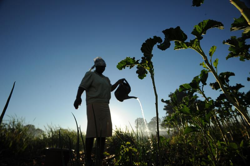 A woman waters her vegetables in southern suburb of Harare, Zimbabwe on August 4, 2013.  President Robert Mugabe was declared the winner of a controversial presidential election on August 3, 2013.