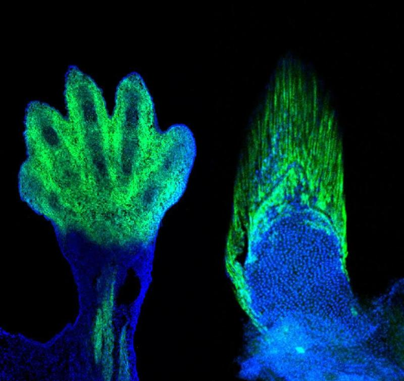 A composite image of a mouse hand and a fish fin, each labeled with the same molecular markers.