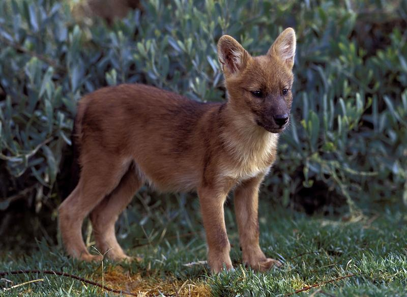 A three-month-old male Dhole pup named Nicolai is seen at the San Diego Zoo, May 21, 2003. The Wild Animal Park is currently the only facility to house this endangered species in the United States.