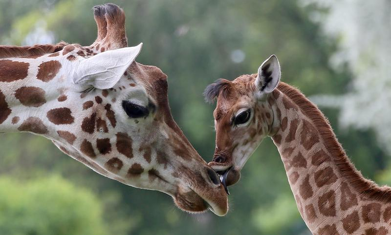 The nine-day-old giraffe Bine licks another giraffe named Andrea on May 9, 2014 in Friedrichsfelde zoo in Berlin.
