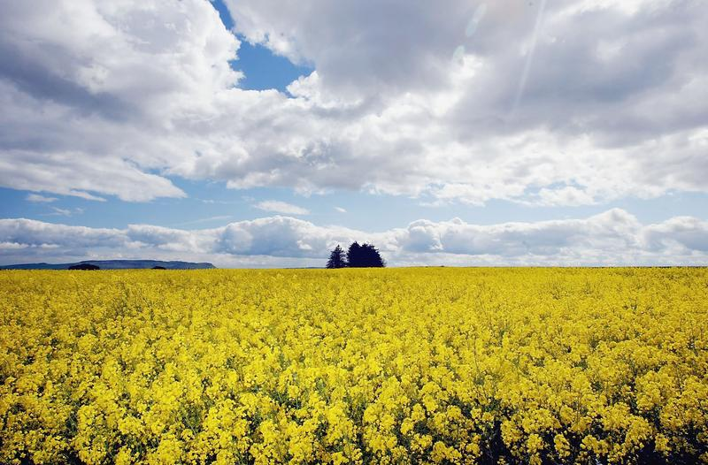 Afield of oilseed rape on May 24, 2004 in Scotland. At the time, a team of UK advisers failed to give clear direction to ministers on whether to commercialize GM crops after tests of oilseed.