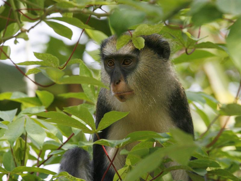 A monkey sits in a tree on March 19, 2008 in the Tai National Park, 400 kms west of Abidjan, where a campaign is underway to save primates and chimpanzees, threatened by extinction.