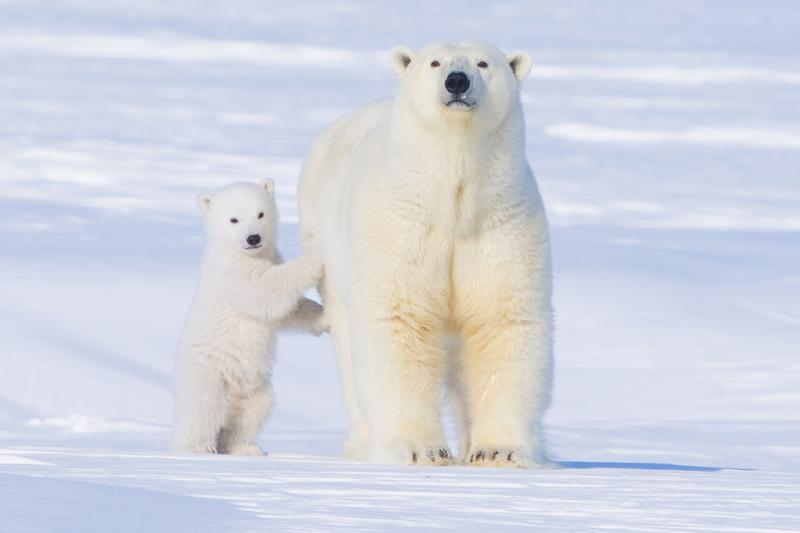 Polar bear sow and cub newly emerged from their den in springtime on March 24, 2009 along the Arctic Coast of Alaska.