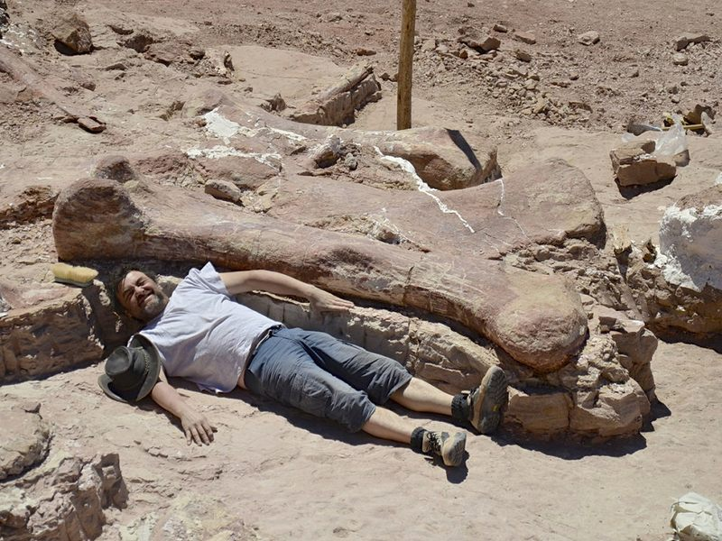 A team member is dwarfed by a bone of the gigantic dinosaur excavated in Patagonia.