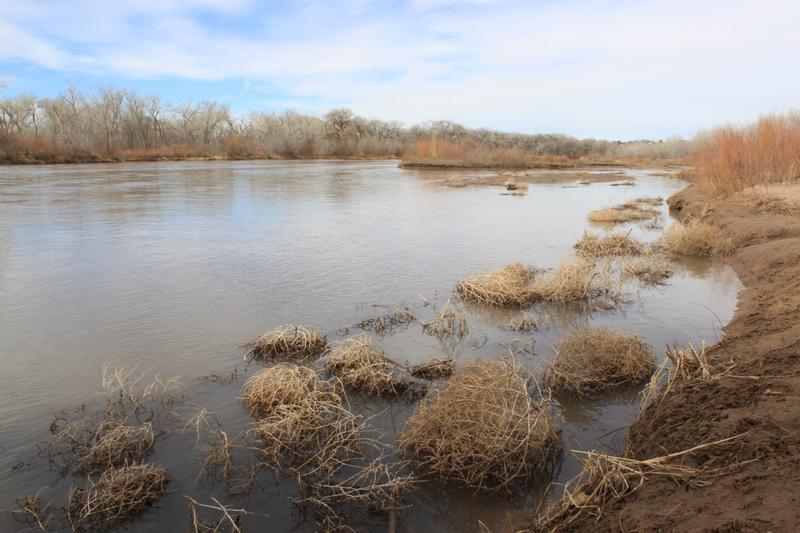 In this March 3, 2014 image, tumbleweeds crowd the edge of the Rio Grande as it flows through Albuquerque, N.M.