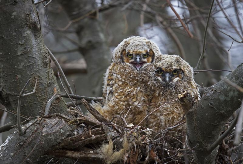 Young great horned owls at the Jamaica Bay Wildlife Refuge, which is the only wildlife refuge accessible by subway in the U.S. More than 330 species of bird have been observed at the bay.