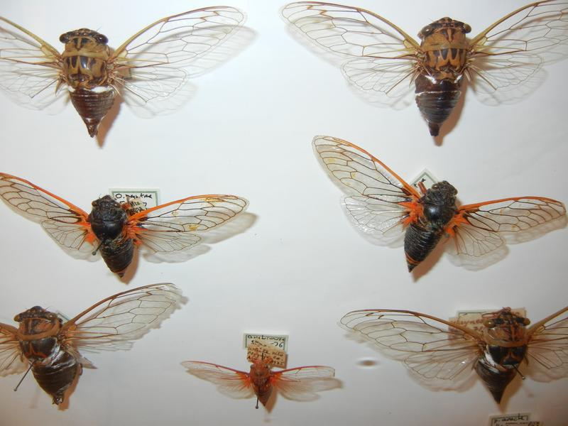 Cicadas on display at the Staten Island Museum