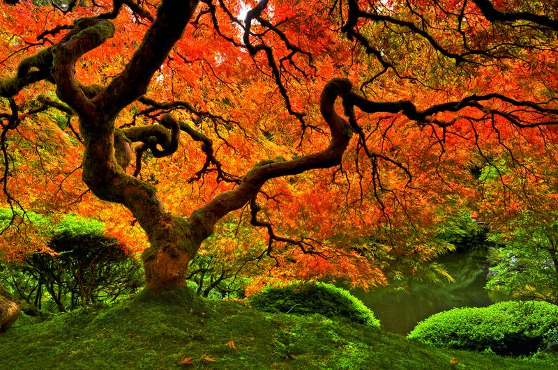 A Japanese maple tree surrounded by moss in Portland, Oregon.
