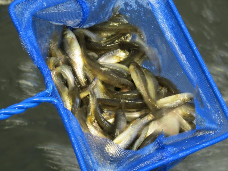 A skimmer full of minnows