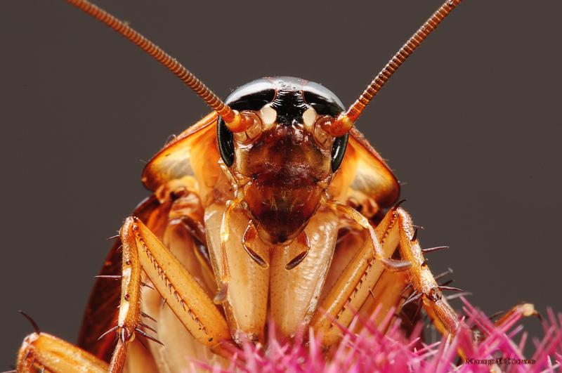 An American Cockroach, the most common cockroach in New York City, which are known to fly when temperatures exceed 100 degrees.