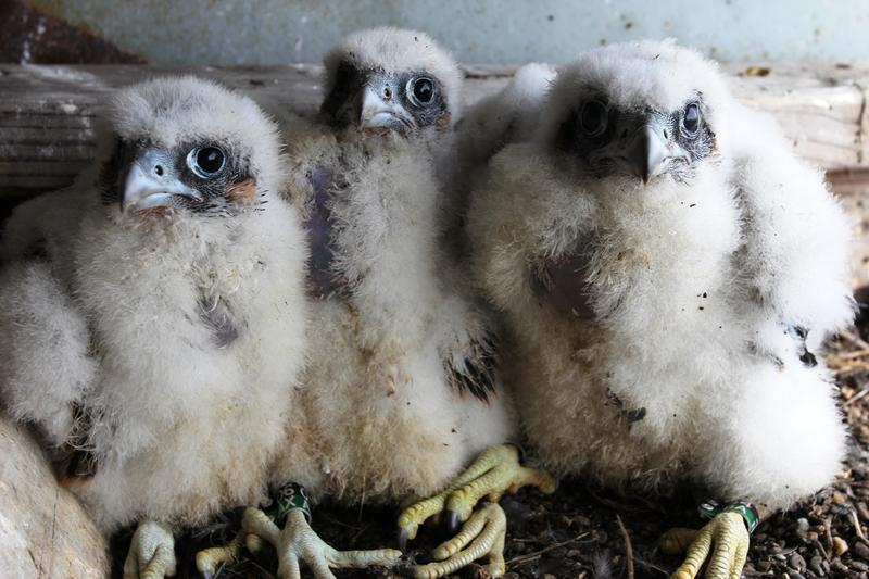 Peregrine falcon chicks atop the Marine Parkway-Gil Hodges Memorial Bridge in Queens, New York
